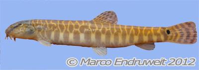 Figure 1. Cobitis sp. CC4, KIZ 2012000175, 74.4 mm SL, female, lateral view, caught 2012-04-08, freshly dead, Red River basin, Vietnam.