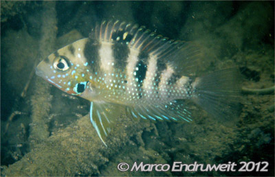A female of Thorichthys maculipinnis