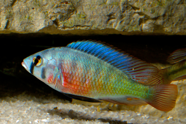 Psammochromis riponianus